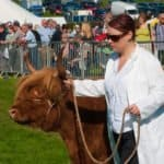 Country show cow
